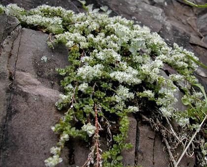 kereklevelű ezüstvirág