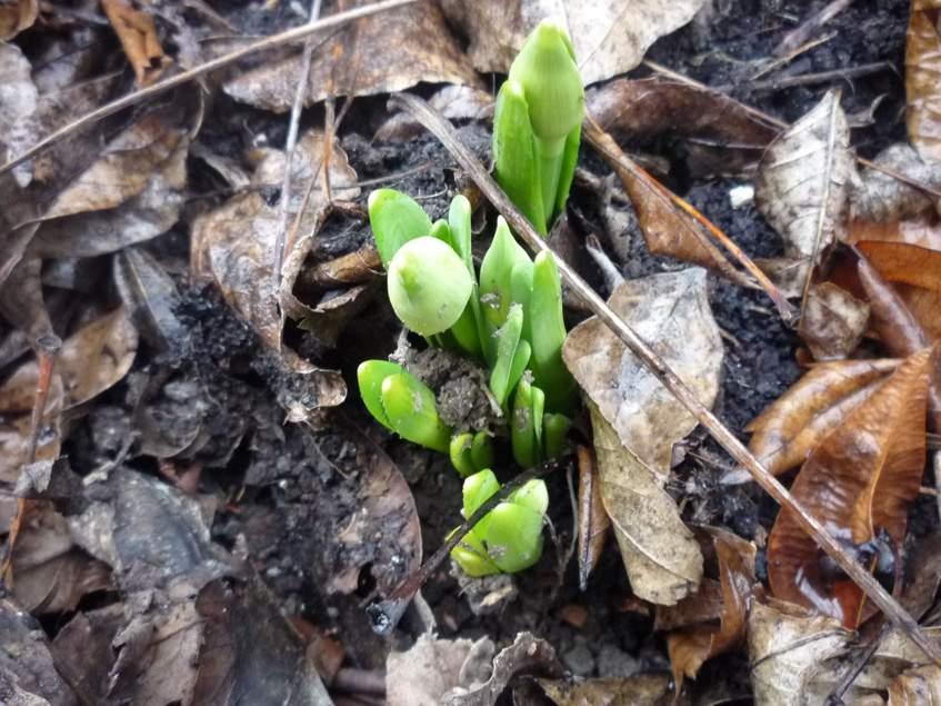 február végén kibúvó nárciszok