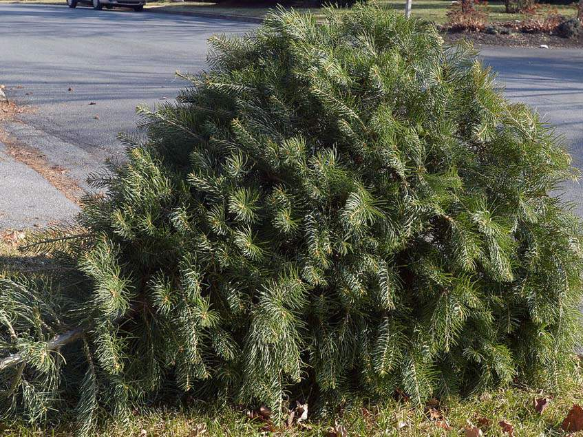 kidobott karácsonyfa