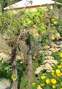 házikert szőlővel, az előtérben pompás varjúhájjal és bársonyvirággal