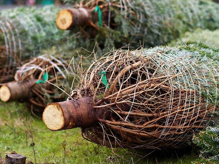 kivágott karácsonyfa