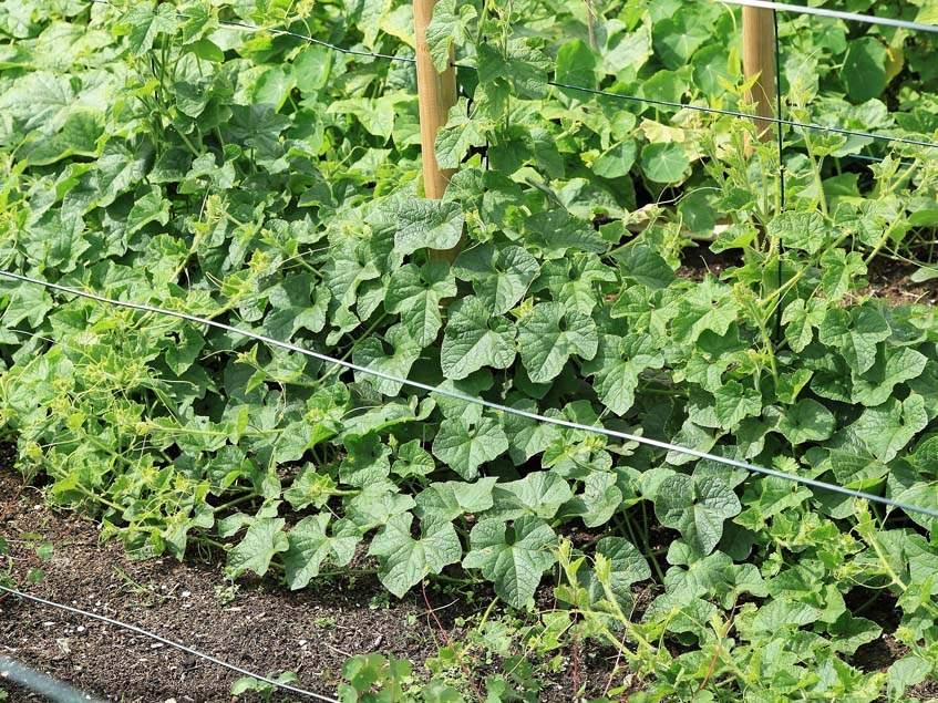 kiwano termesztés