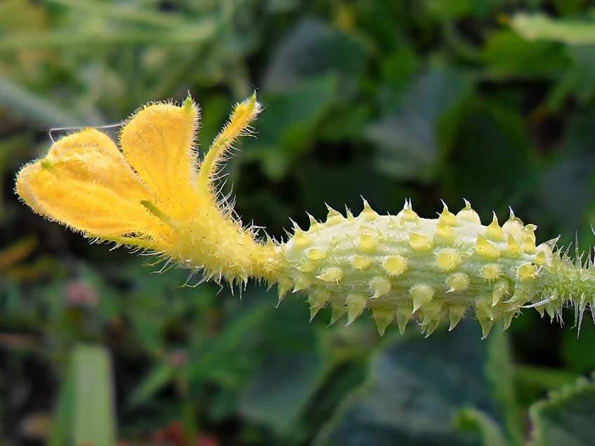 kiwano termős virága