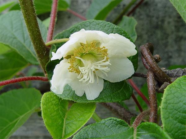 kivi virág