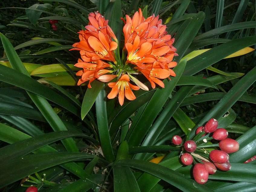 klivia virága, termése