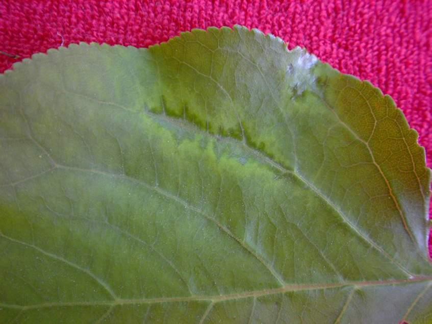 A kajszibarack levelén klorotikus foltok jelzik a vírusfertőzöttséget.