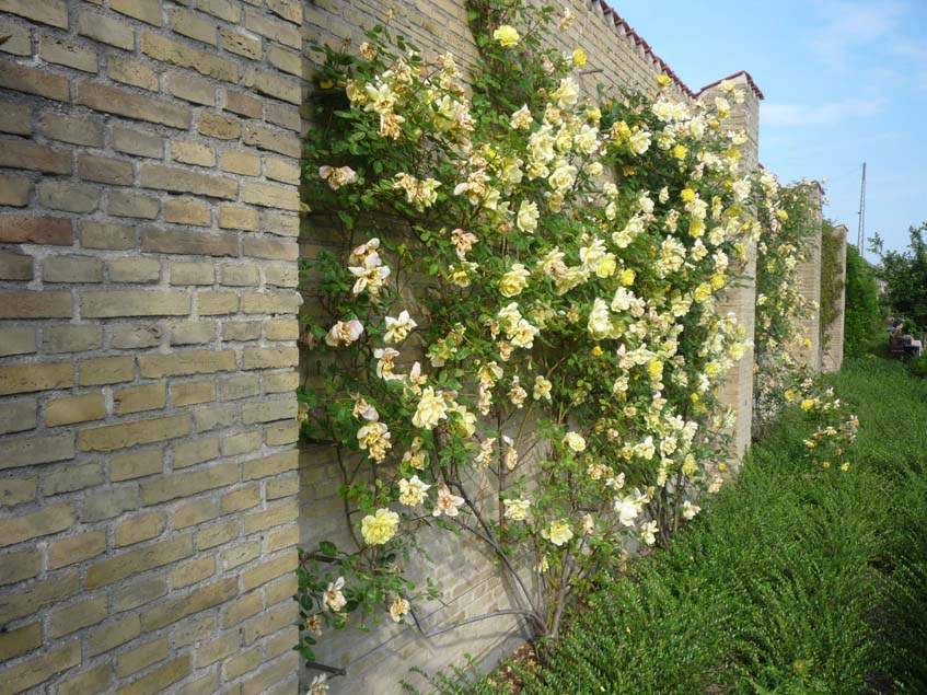 kőfal elé futtatott rózsa
