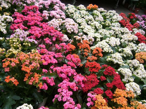 korallvirágok