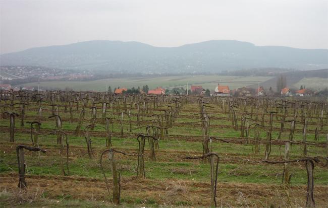 kordonon művelt szőlő