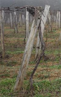 kordonon művelt-szőlő