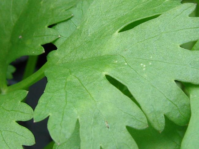 koriander levele