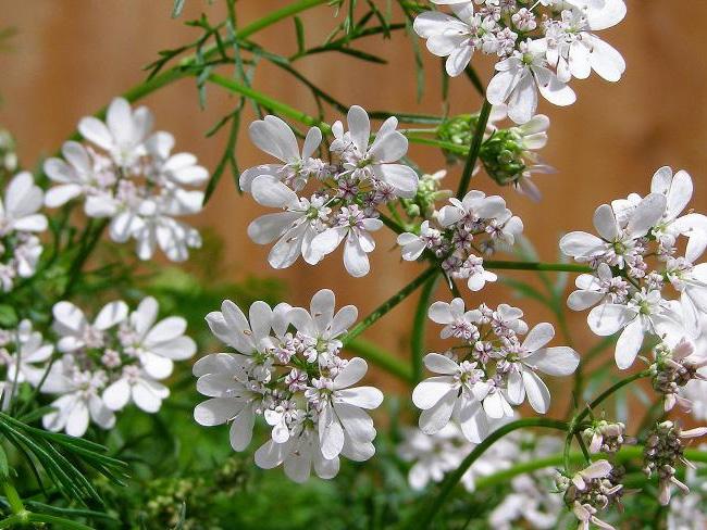 koriander virágzat