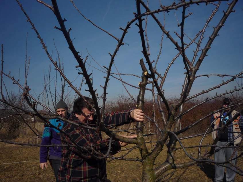 almafa koronaalakítás nyugalmi időszakban