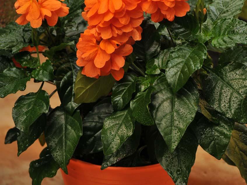 krosszandra szobanövény