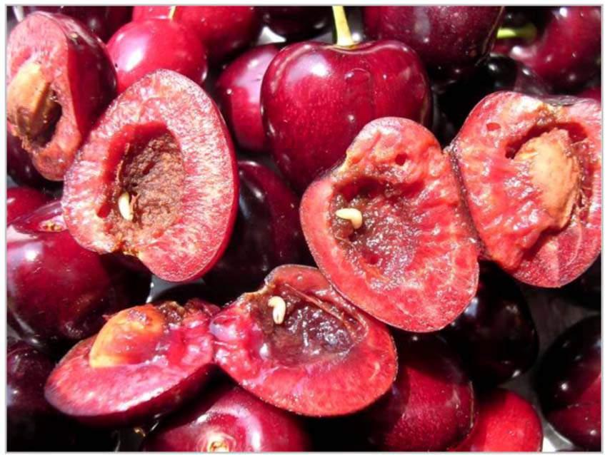 kukacos cseresznye