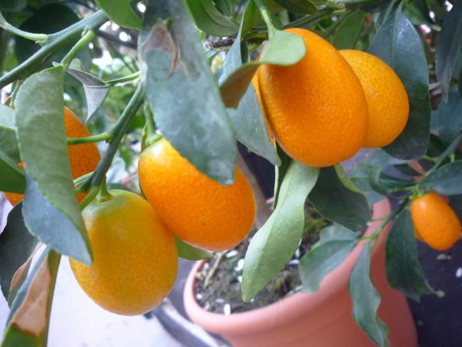 kumquat cserépben
