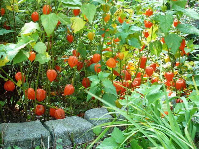 lampionvirág a kertben