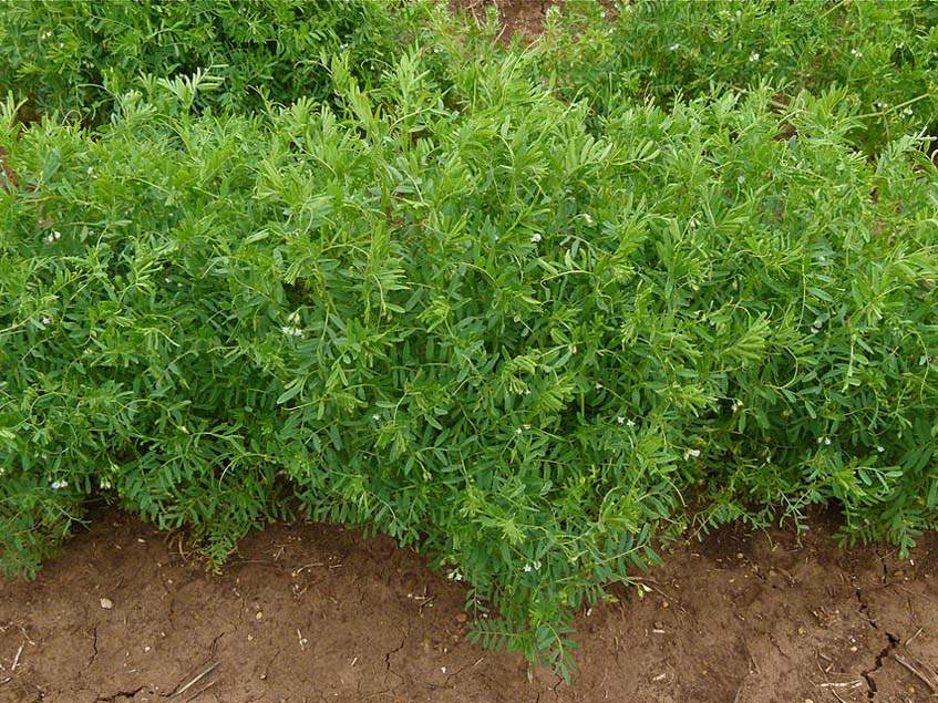 lencse növény