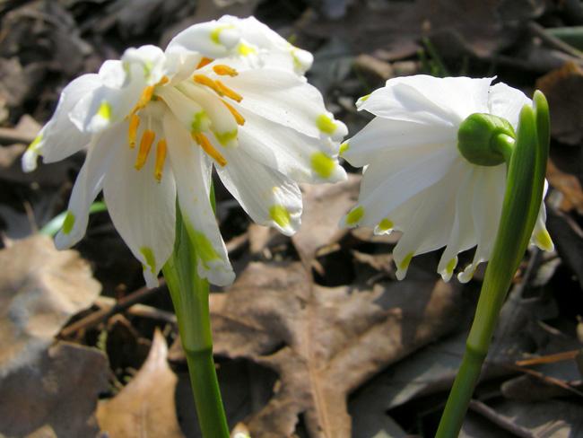 tavaszi tőzike 1Gertrude Wister'