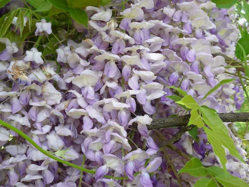 lilaakác virágzat