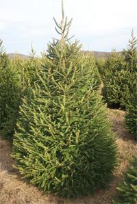 lucfenyő karácsonyfa