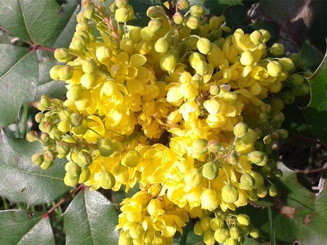 mahónia virágzat