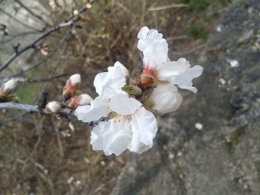 mandulavirág