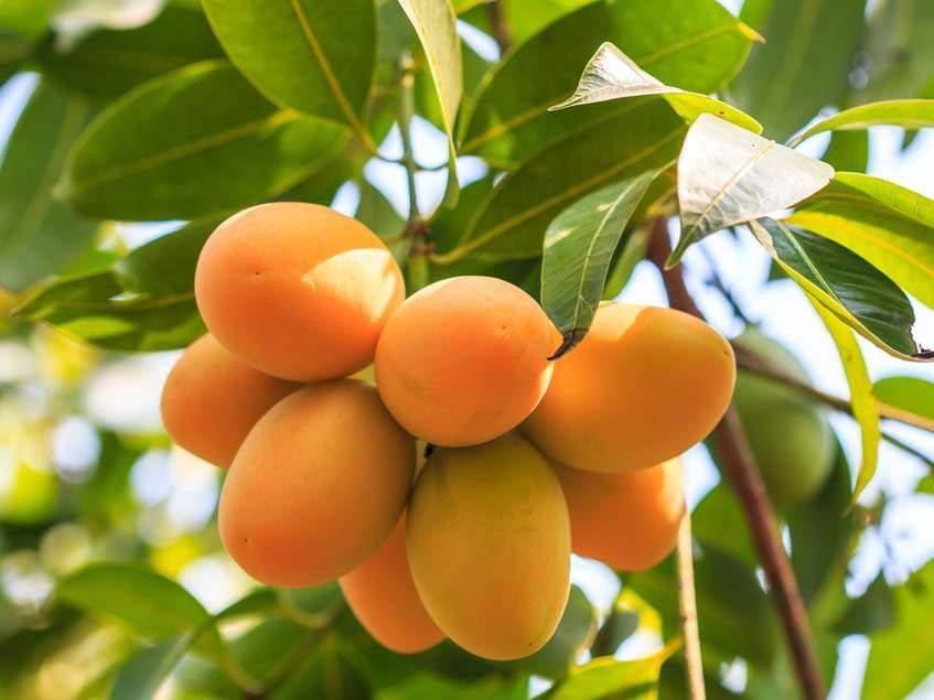termő mangófa