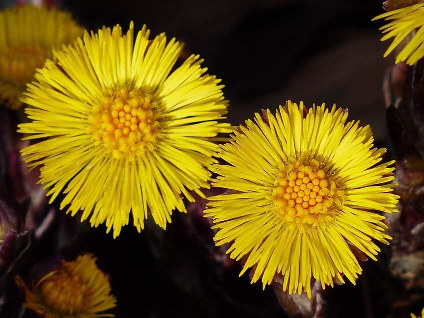 martilapu virágzat