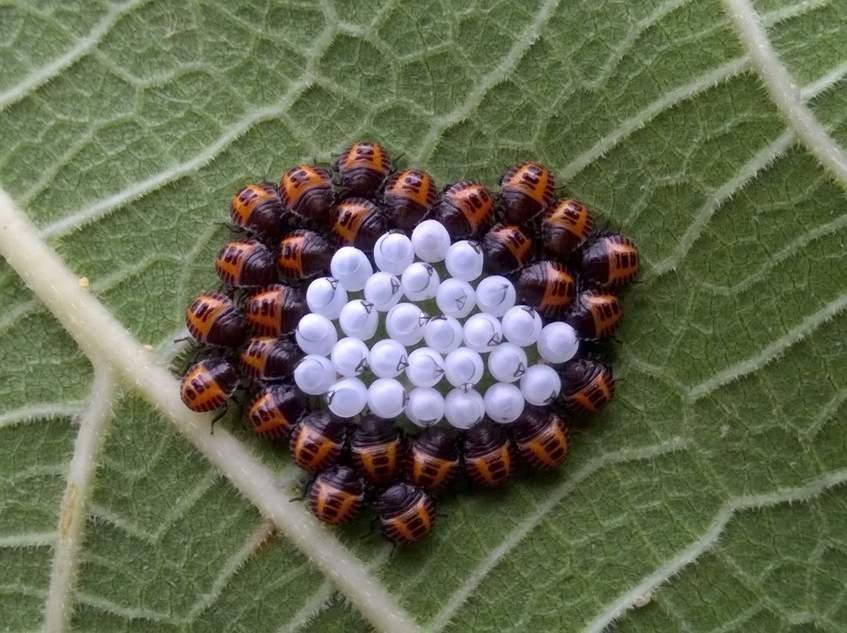 ázsiai márványpoloska lárvák