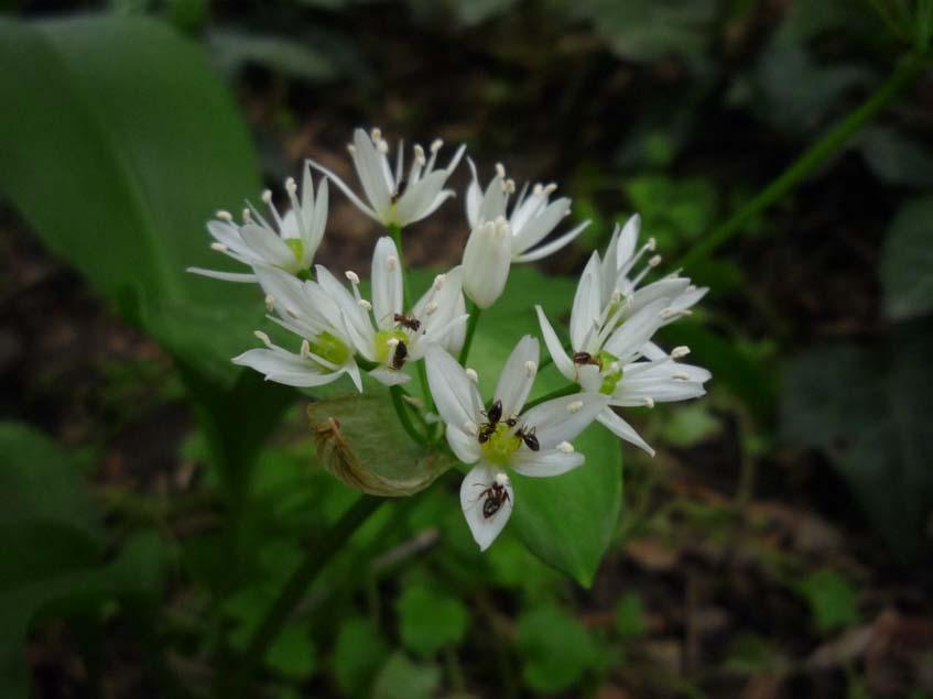 medvehagyma virágzat