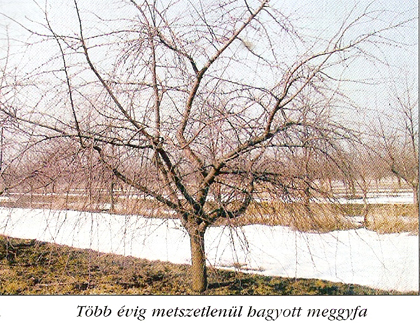 meggyfa
