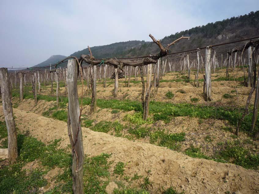 megmetszett szőlőültetvény a Pilisben