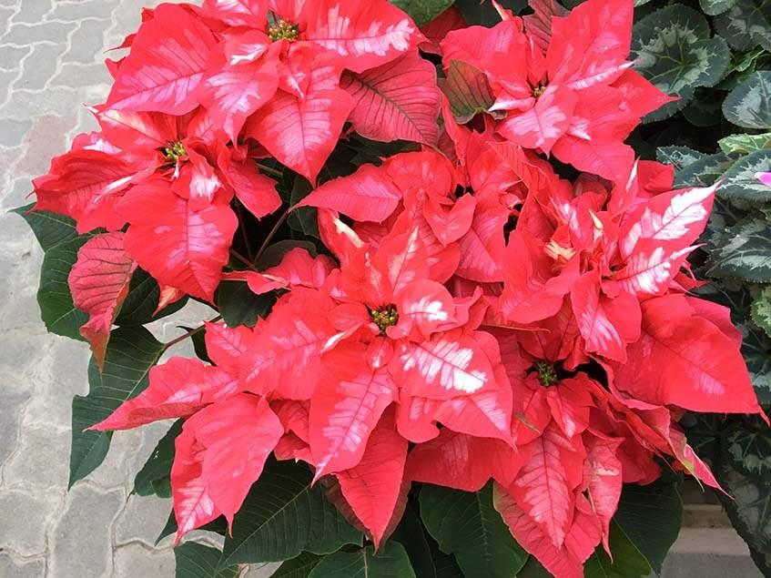 mikulásvirág piros-tarka