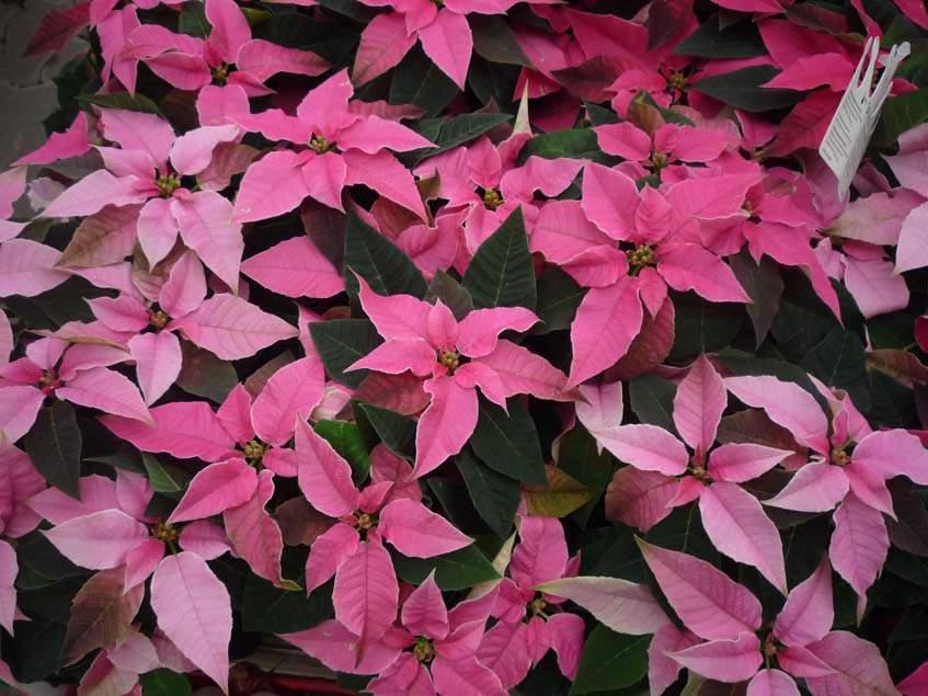 mikulásvirágok