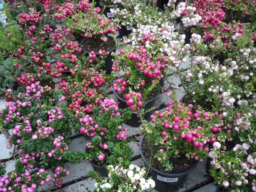 mirtuszhanga kertészetben