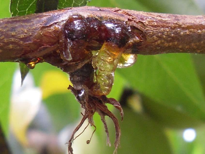 monilia fertőzés következtében fellépő viráelhalás és mézgakepződés