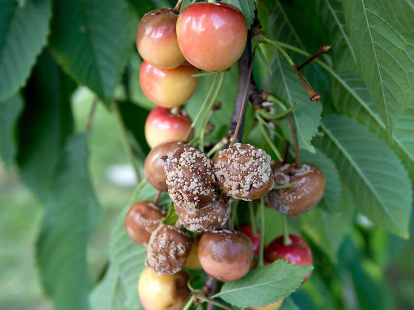 moniliás cseresznye
