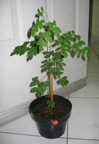 moringa szobanövény