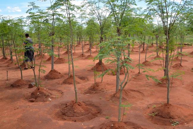 moringa ültetvény