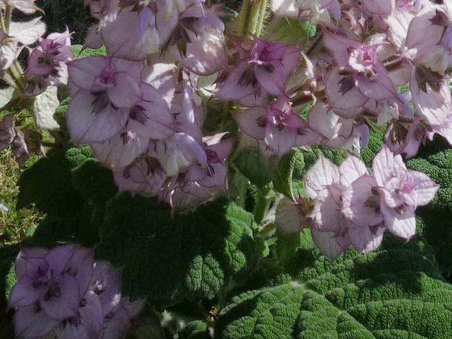 muskotályzsálya virágzat részlet