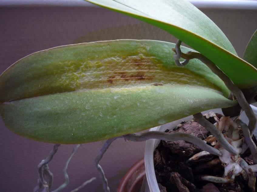 napperzselés orchideán