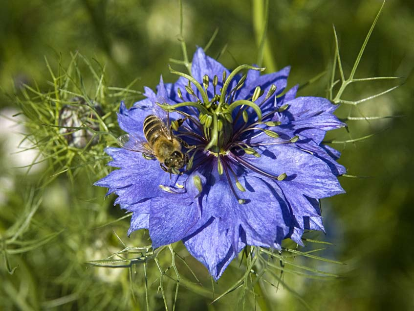Nigella sativa virága