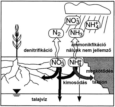 nitrát és ammónium útja a talajban