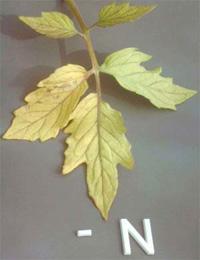 nitrogénhiányos paradicsomlevél
