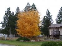 nyírfa őszi színe