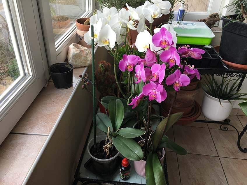 """""""oh Shit"""" orchidea táppal gondozott orchideák"""