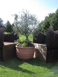 olajfa terrakotta edényben