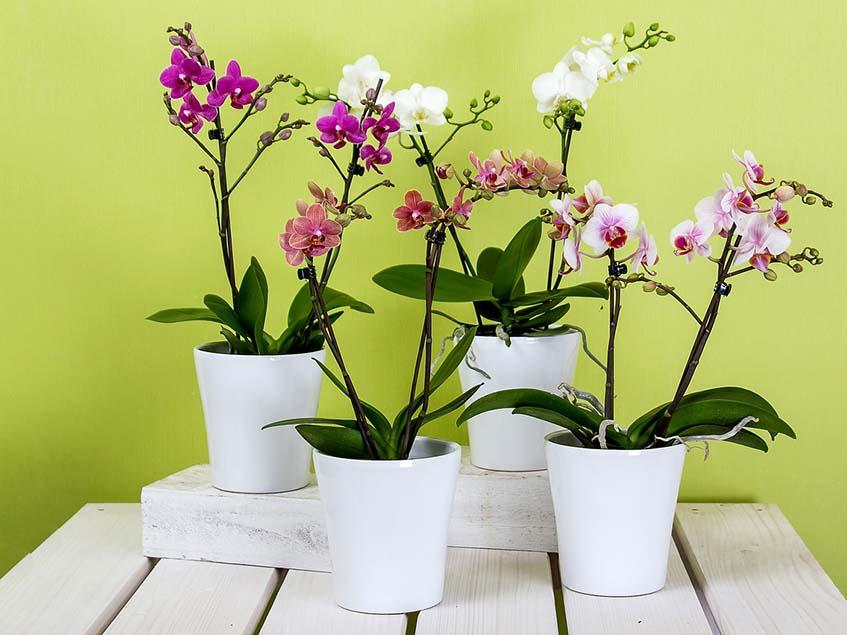 orchideák kaspóban