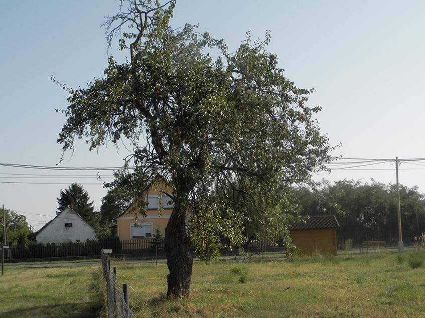 öreg körtefa